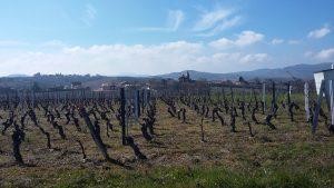 Balade au milieu des vignes du Beaujolais planning de balades